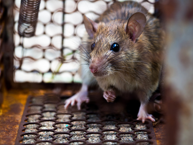 Zionsville-Rodent-Pest-Control
