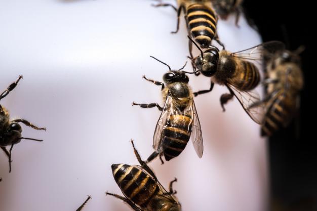 Zionsville-bee-Pest-Control